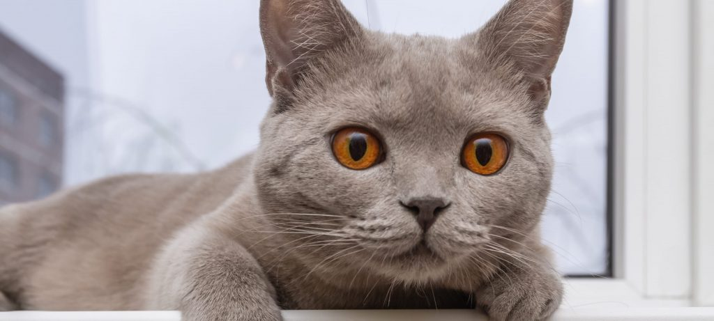 Noble proud cat lying on windowsill. The British Shorthair with gray fur