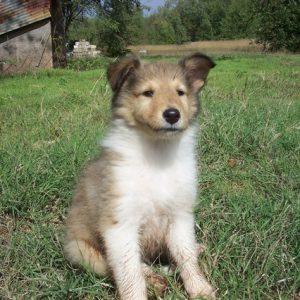 puppy-middelgroot ras