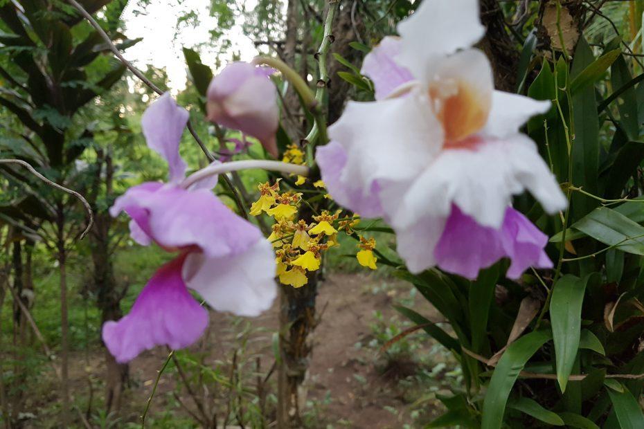 orchideeën Filipijnen