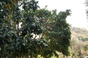 unter Pomeranzenbäumen