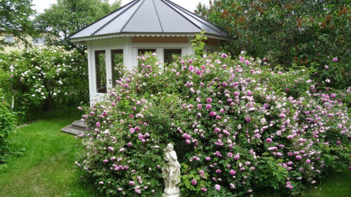 Nordisk rosenweekend i Kalmar er netop blevet aflyst