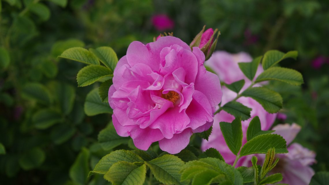 Månedens Rose April 2020 'Jens Munk'