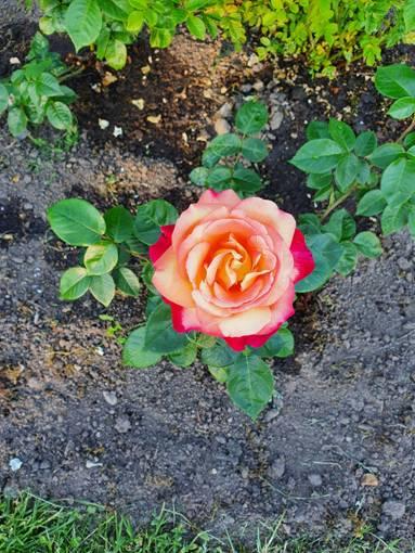 Hvilken gul rose