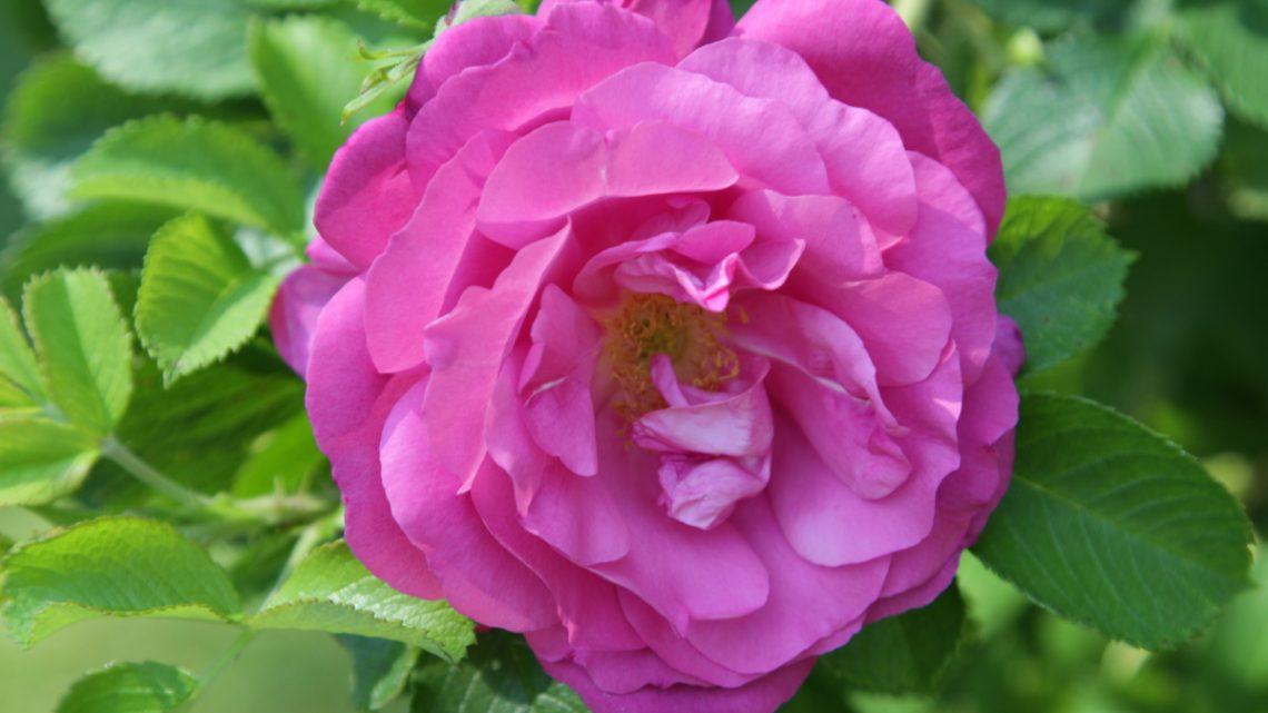 Brevkassen Roser ved sommerhus