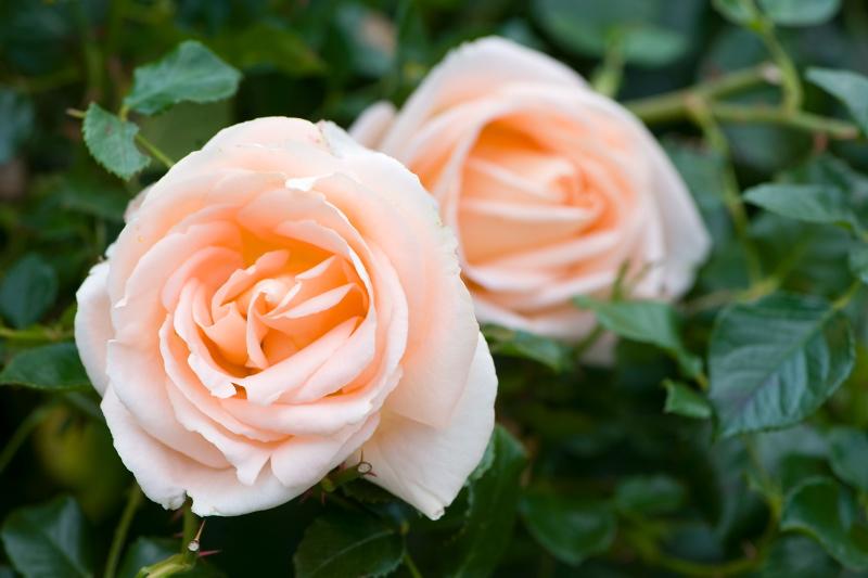 Har du husket at købe RootBooster til nyplantning af roser