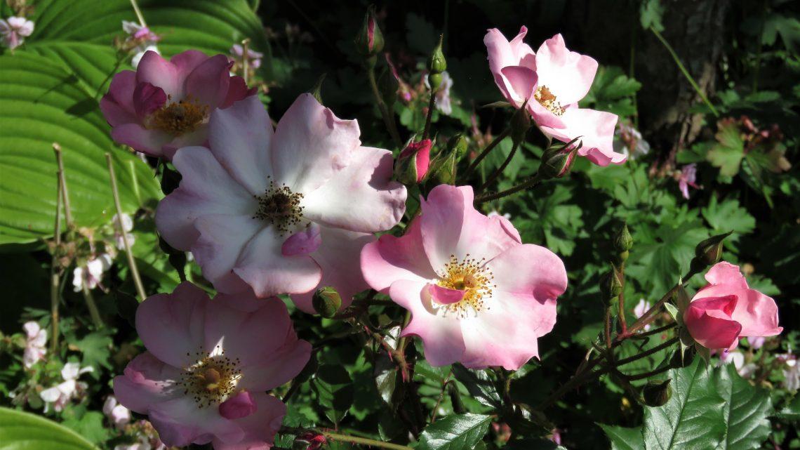 Månedens rose maj 2021 'Rosy Cushion'