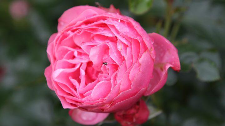 Sprøjtning af roser