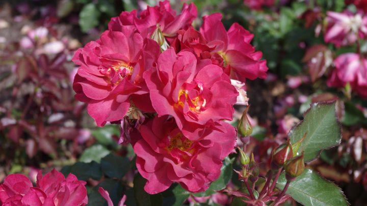 ændring i rosenkreds Trekantens arrangement