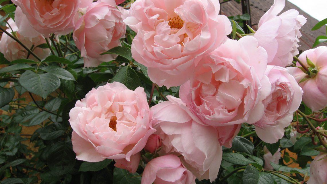 Rose og klematis i samme krukke