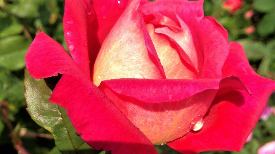 Månedens Rose juli 2021 'Acapella'