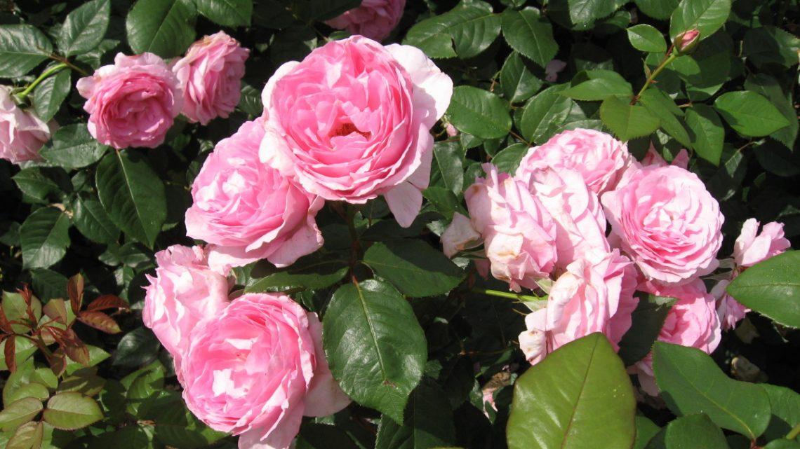 Hvilken rose i krukken