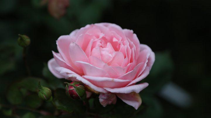 Månedens rose- oktober 2021 'Brother Cadfael'