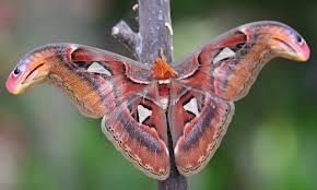 atlas-moth