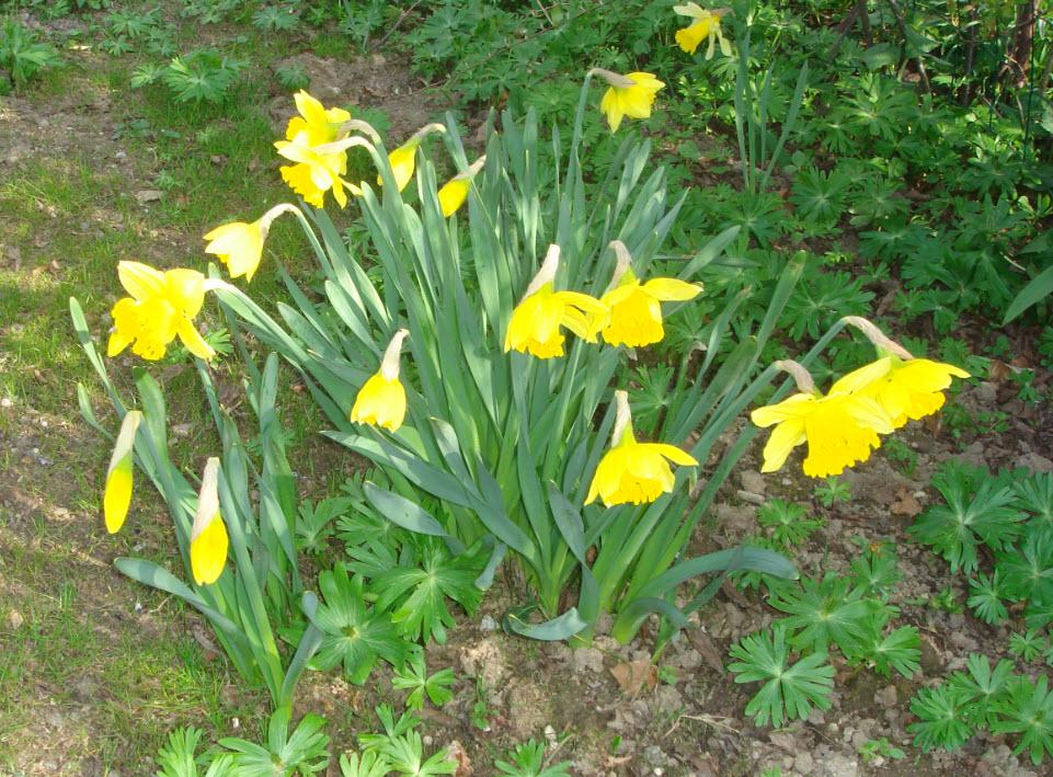 Påskeliljer i maj