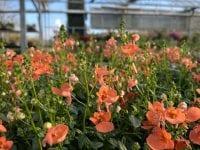 Foto: Broby Planteskole