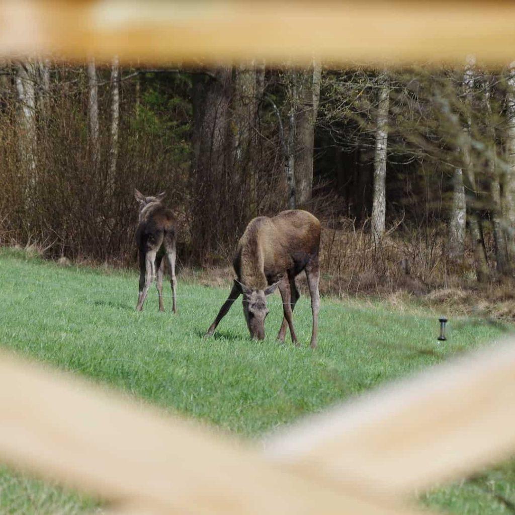 Eland bij Pinewood Lodge