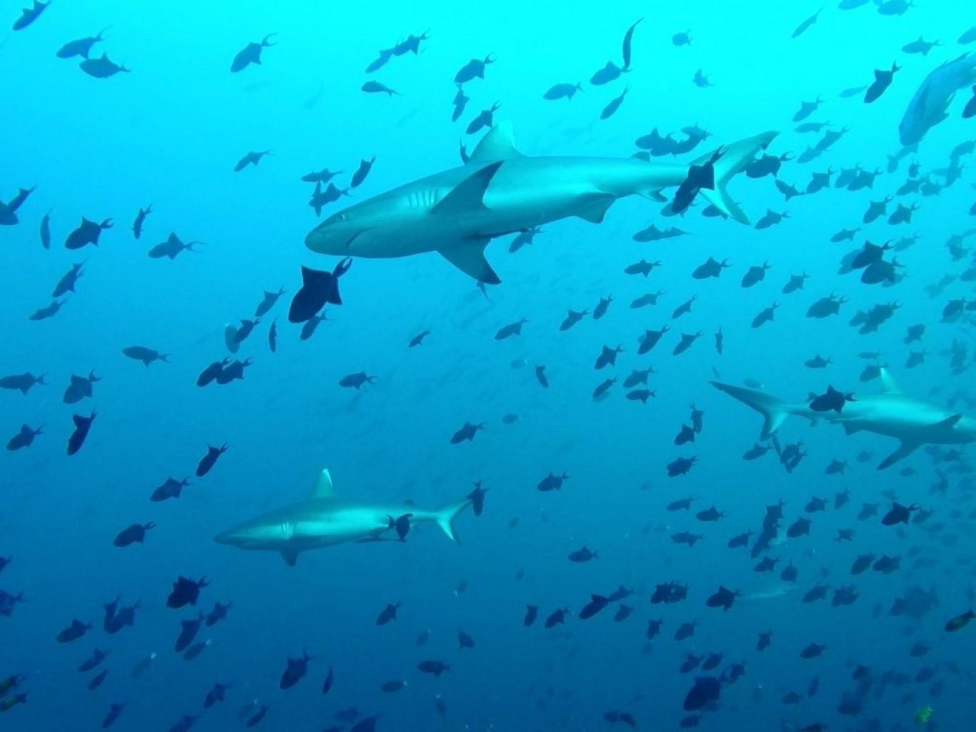 hajogsmåfiksdykkergitte