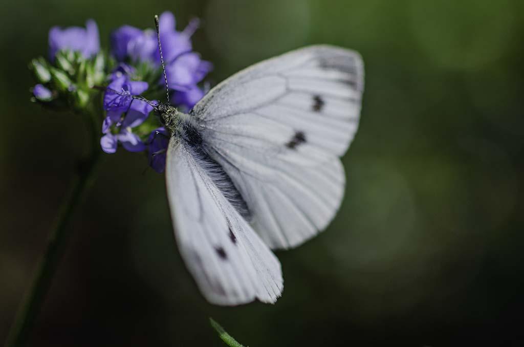 Engkarse og sommerfugl
