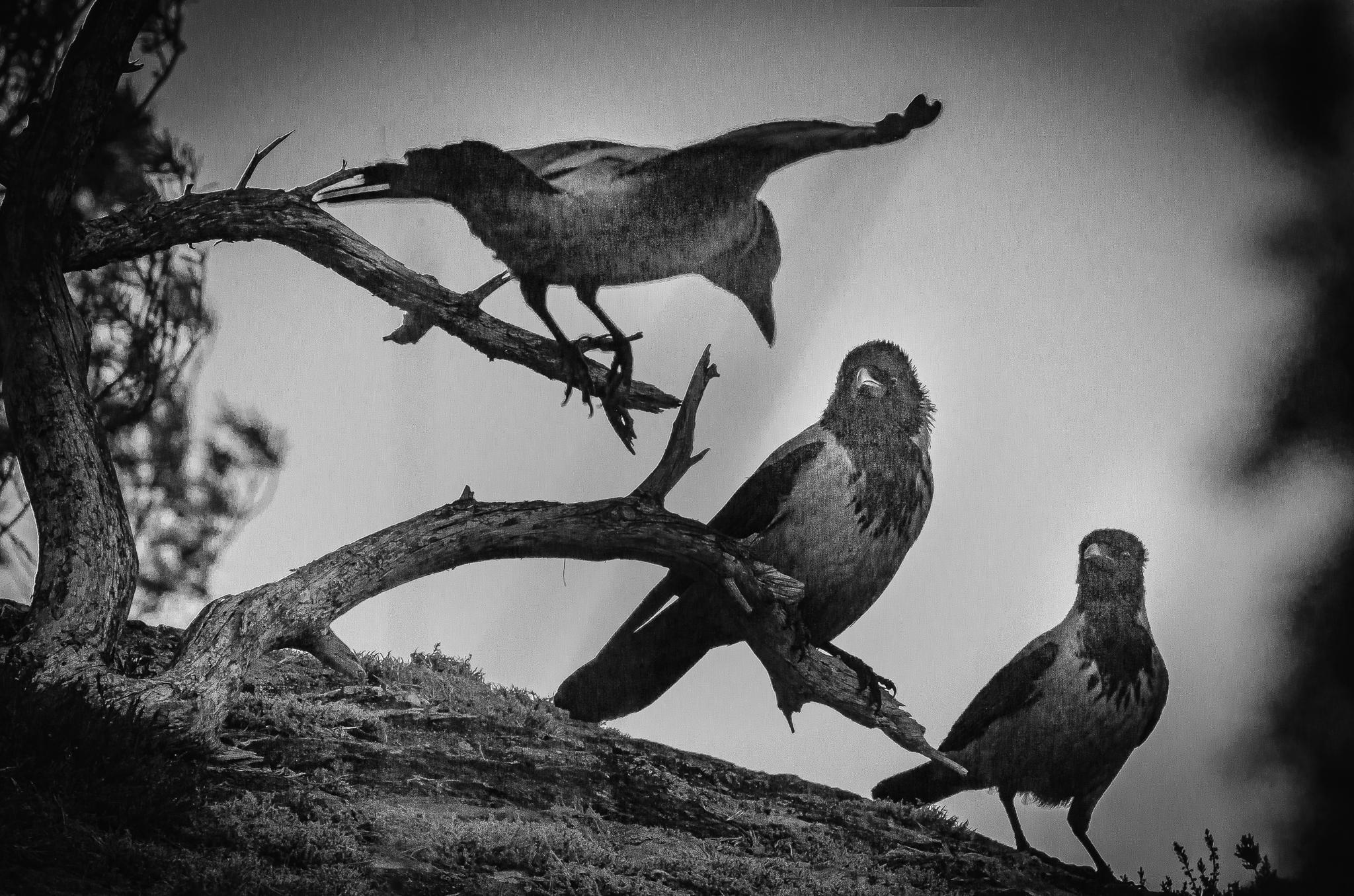 Tre kråker på ei grein