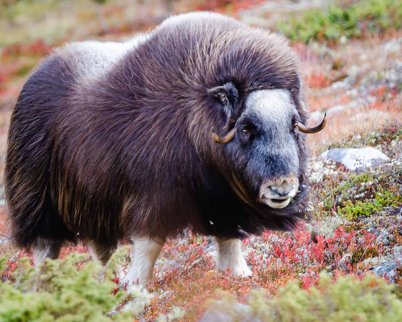 Musk Ox at Dovre