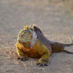 Hagedis inheemse Galapagos Wildlife bewoner