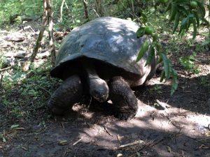 Reuzen schildpad op de Galapagos