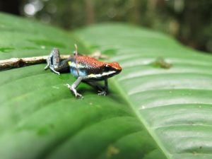Boomkikker in Amazone rgenwoud