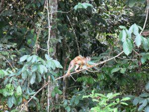 Doodshoofdaapje in Cuyabeno Amazone Reservaat