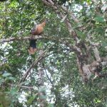 Hoatzin vogel in Cuyabeno AMazone tour