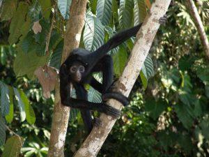 Slingeraap in Amazone regenwoud