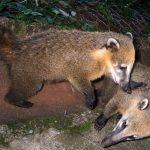 Neusbeertjes in Cuyabeno Amazone Reservaat
