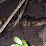 Kaaiman in Amazone regenwoud