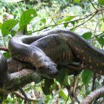 Boa in Cuyabeno Wildlife Reservaat