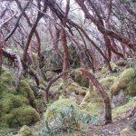 Polylepis bomen Cajas Nationaal Park tour in Cuenca Ecuador