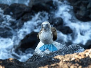 Blue footed Booby of jan van gent op de Galapagos Eilanden in Ecuador
