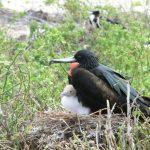 Fregatvogel met jong behoort tot het wildlife op de Galapagos