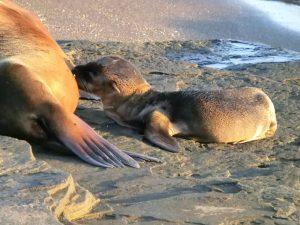 Zeeleeuw met baby op de Galapagos Eilanden in Ecuador
