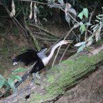 Reiger in Cuyabeno wildlife reservaat