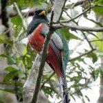 Tropische vogel in Amazone