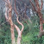 polylepis bomen Cajas park Ecuador
