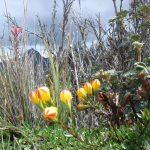 Bloemen in Cajas natuurreservaat Ecuador