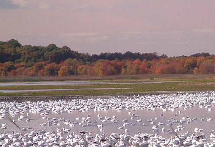 Thanks to the multi-agency effort at Prime Hook, newly restored habitats are attracting migratory birds that have returned after decades