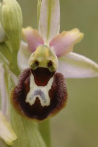 review Gab van Winkel of The flower of the European orchid - Form and function