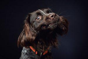 Portræt af hund