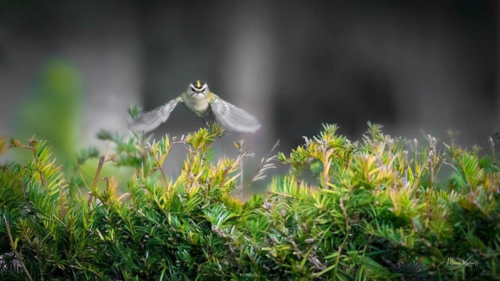 Fotografering som hobby Fuglekonge 01