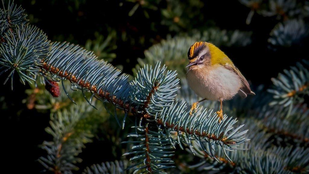 Fotografering som hobby Fuglekonge 02