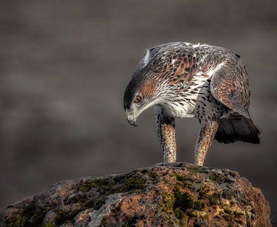 Fotografering Som Hobby Spanien Rovfugle 16