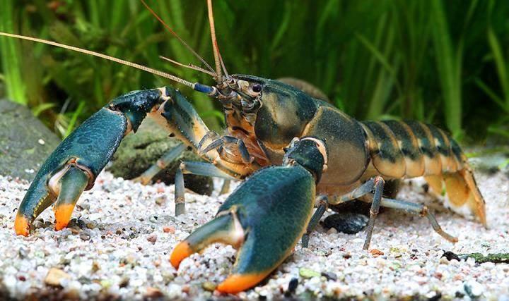 snowden crayfish