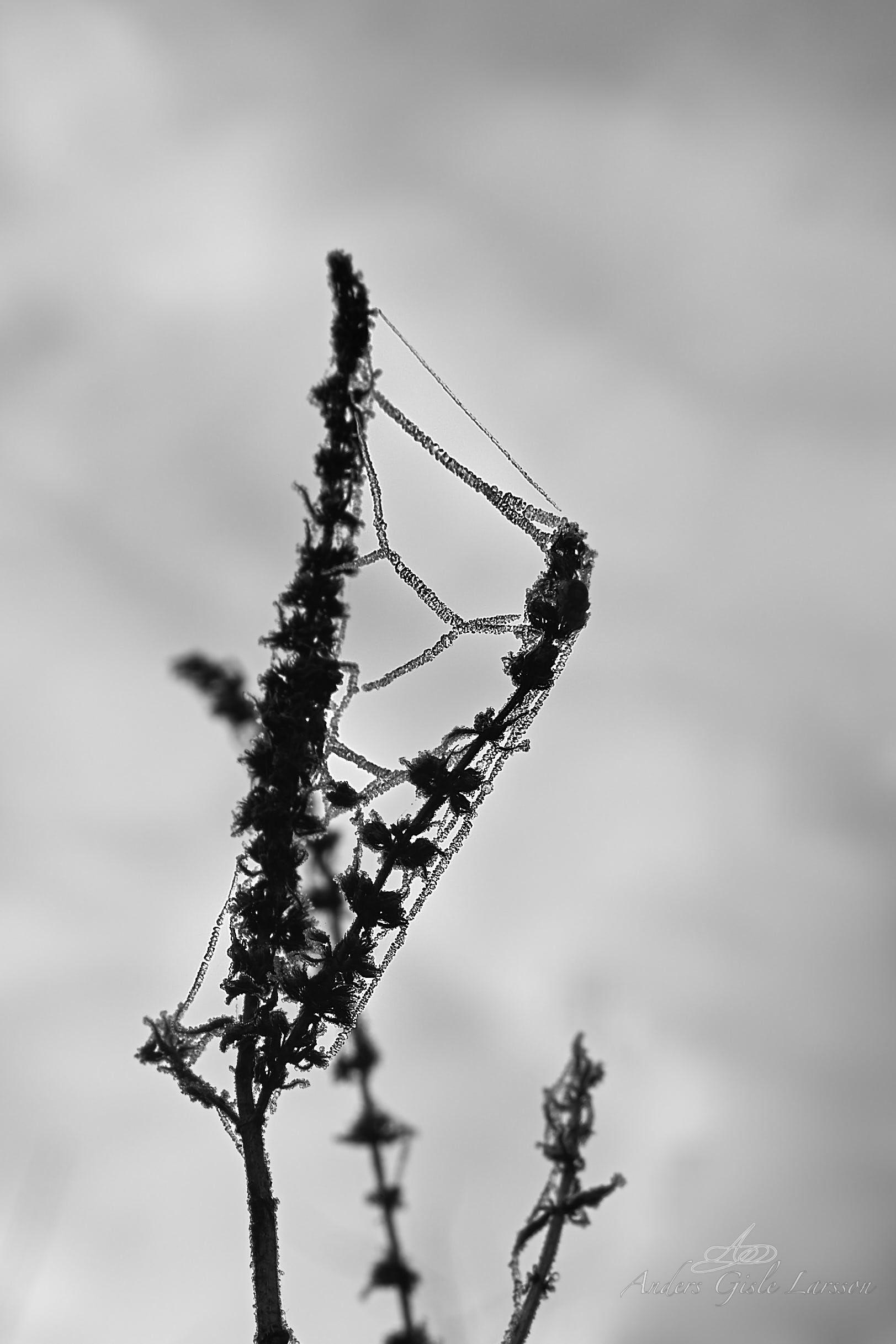 Spindelvævs dråber, Uge 9, Assentoft, Randers