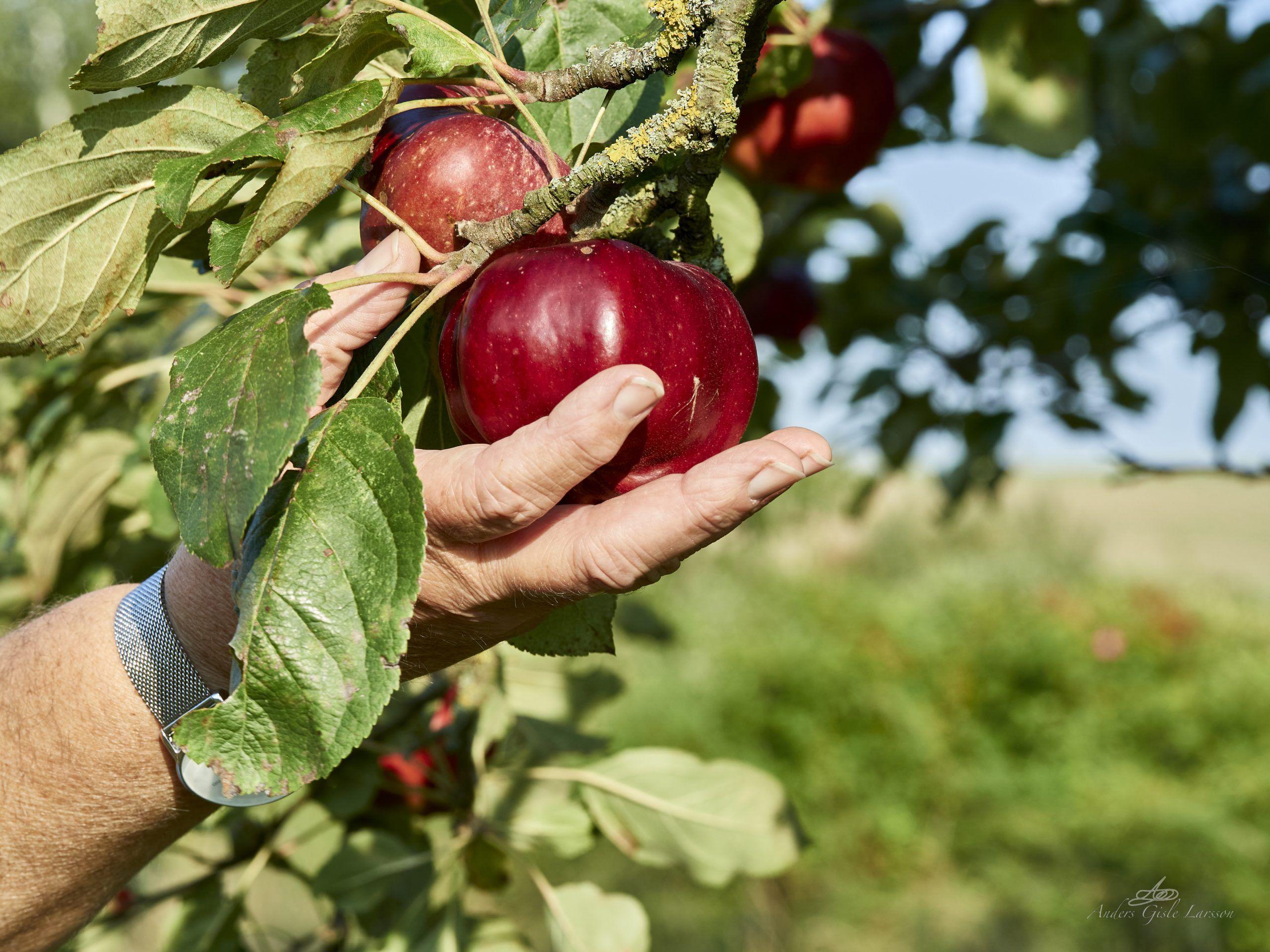 Æbleskud